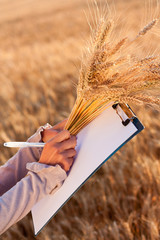 Empty paperwork, pen and golden ears wheat in women's hands