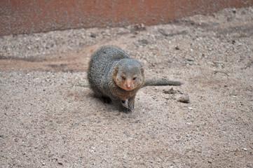 Common dwarf mongoose (Helogale parvula)