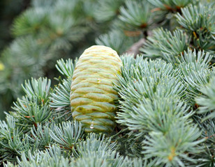 Single cedar lebanone cone on the branch