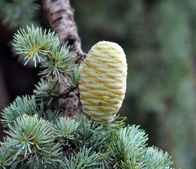 Cedar cone on the branch