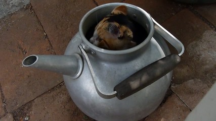 kitten in a kettle