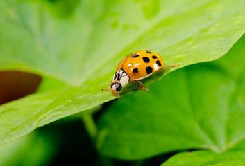 wandering asian ladybird