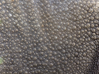 Close-up of Black Rhinoceros (Diceros bicornis ) skin texture.