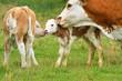 Kuh mit Nachwuchs