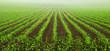 Leinwanddruck Bild - Junge Maispflanzen auf dem Feld