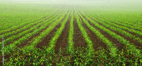 Leinwanddruck Bild Junge Maispflanzen auf dem Feld