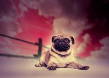 Pug chien contre le studio coucher du soleil toile de fond
