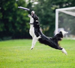 Frisbee dog catching