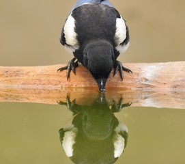 Magpie drinking water.