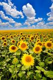 Fototapety blooming sunflowers