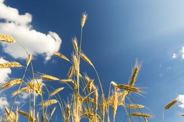 Roggen vor blauem Himmel