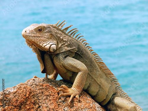 Iguana - 43049797