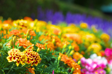 マリーゴールドとお花畑