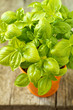 Fresh basil in an orange pot on wooden table