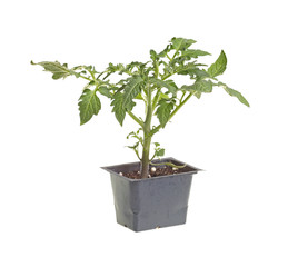 Single tomato seedling isolated against white