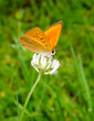 scarce copper on clover vertical (Dukatenfalter)