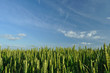 Ears of wheat and blue sky