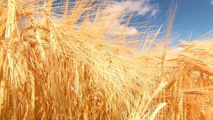 Agricultor examinando plantacion de trigo