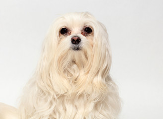 female Maltese dog on a white background