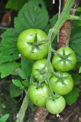 green tomatoes growing in the garden
