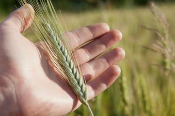 Farmer hand keep green wheat spikelet