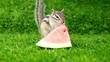 スイカを食べるシマリス