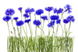 cornflowers meadow