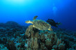 Hawksbill Turtle and Scuba Diver