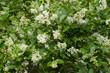 Ligustrum vulgare / Troène commun