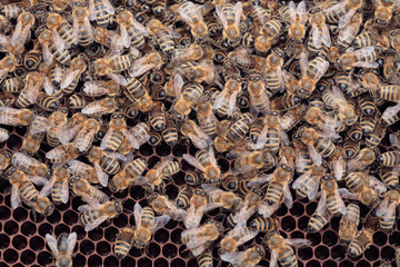 Many bees on the honey combs