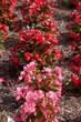 różowa begonia