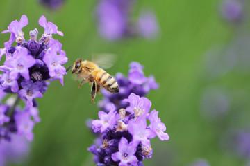 開花したラベンダーと蜜蜂