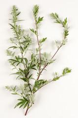 Artemisia vulgaris / Armoise commune