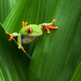 Fototapety red eyed tree frog