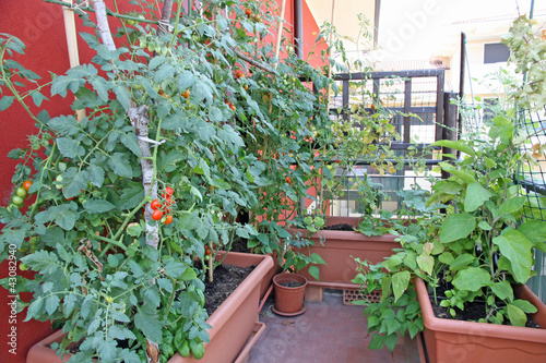 luxuriant plants with tomatoes grown in a pot on the terrace of