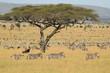 Fototapeten,hike,wildlife,serengeti,gras