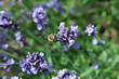 pszczoła lawenda