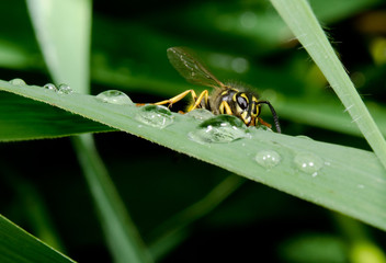 thirsty wasp, raindrops on reed