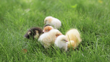 two ducklings and few little chickens in the green grass
