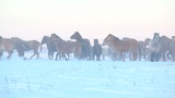 herd of horses on the winter field running away