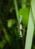 adolescent wasp spider vertical, typical zigzag web poster