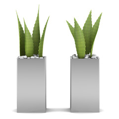 two potted aloe plants isolated on white background