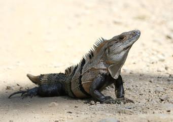 Black Spiny Tailed Iguana