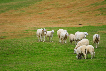 Herd of sheep on the green field