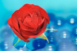 Beautiful Red Rose with Dew Drops on Water