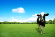 Cow on green grass and blue sky with clouds