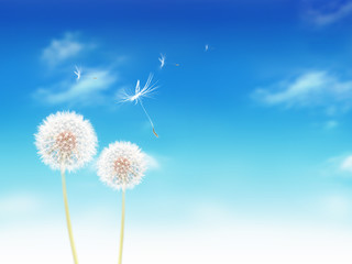 white dandelions on blue sky