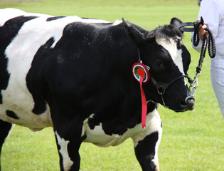 A Champion Winner Friesian Cow with a Head Harness.