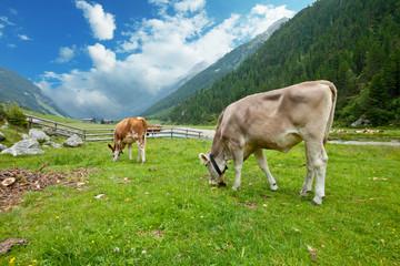 Cow herd in alpine valley