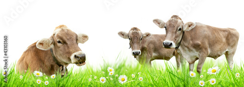 Cows family in meadow, isolated on white background